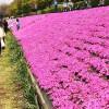 相模川芝ざくらまつり 日本一の長さを誇る芝ざくらラインが見事